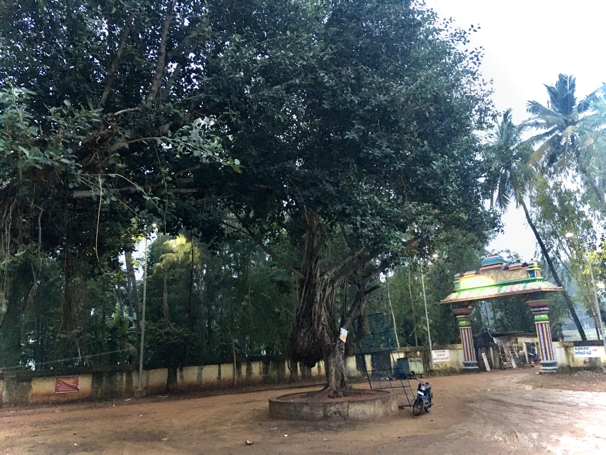 Tall Banyan Tree at Moon Temple